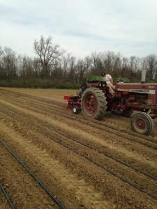 Planting onions with the mechanical transplanter