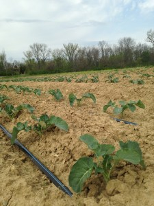 The broccoli planting is starting to take off