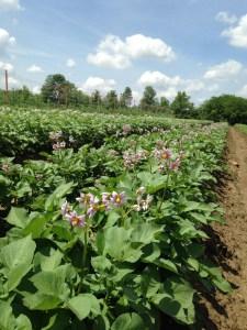 Potatoes in their flowering glory