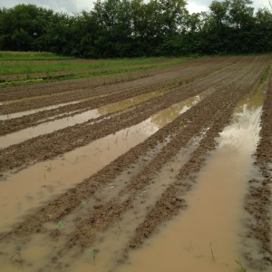 Newly planted seedlings get rain dumped on them