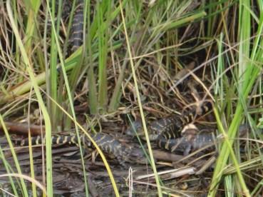 31 Baby gators