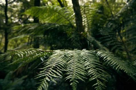 Great Otway, National Park, Nationalpark, Farn, fern, Regenwald, Weg, Rundweg, Reiseblog, nass, feucht, riesengross, Urwald, Regenwald