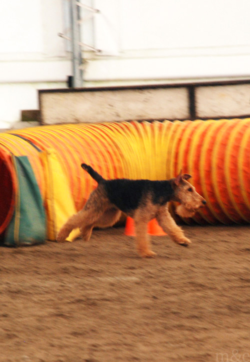 Our 6th Agility Fun Match: Miles & Axel Tear up the Course