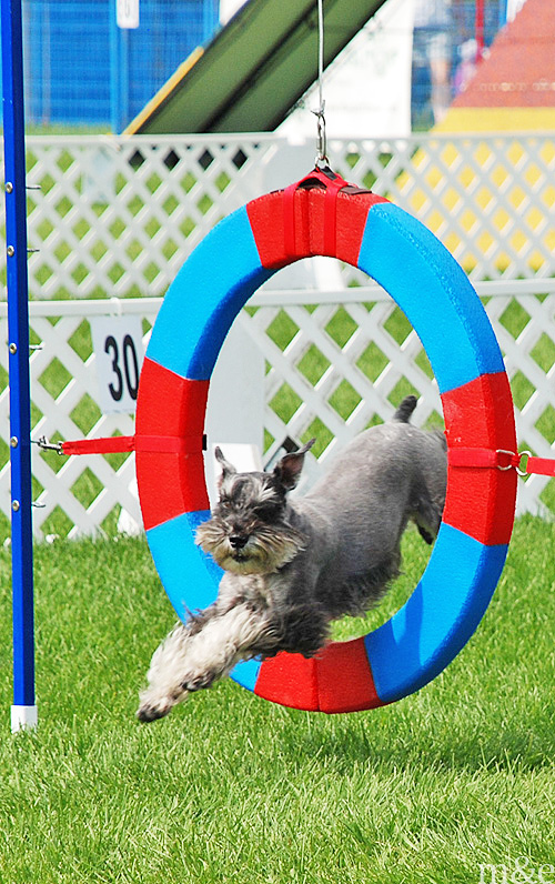 Nationals Agility Team Spotlight: </br>Tom Ikeda and Kuma