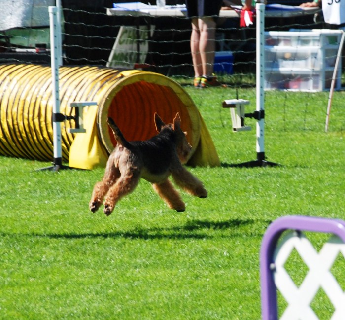 Agility With a Welsh Terrier: Down the Rabbit Hole, Part 2