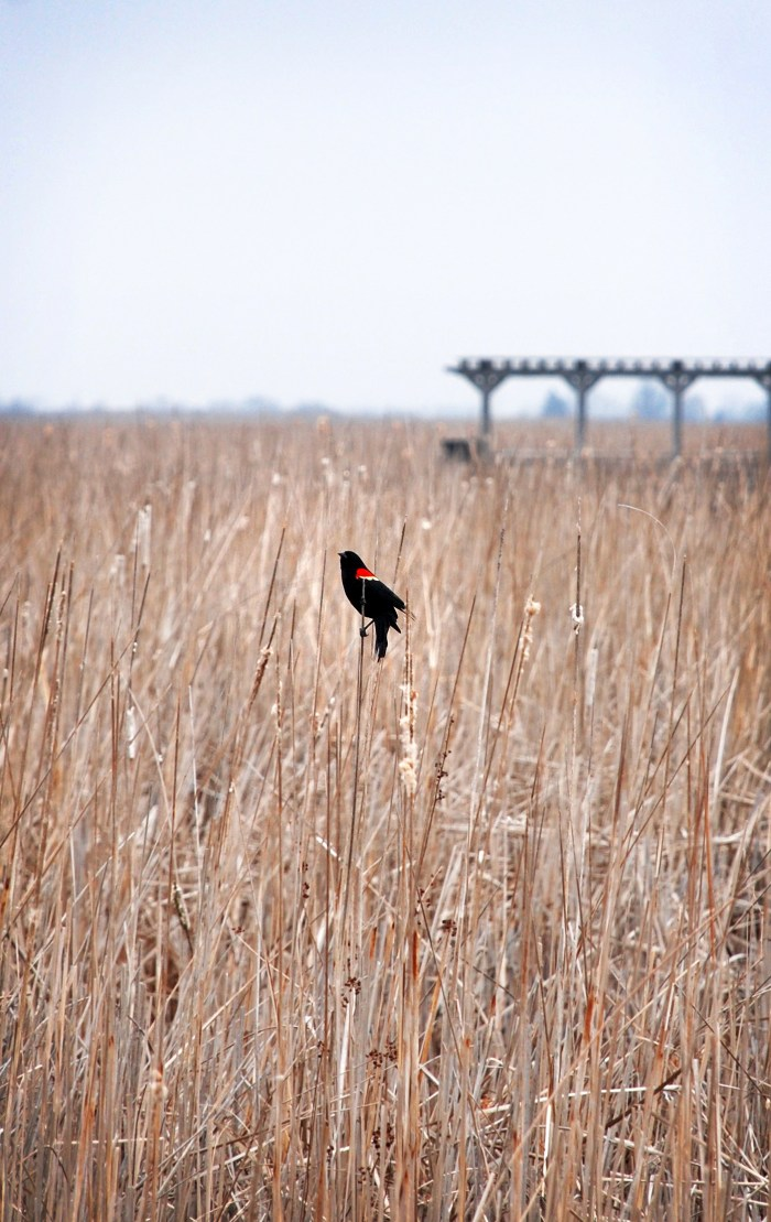 Point Pelee National Park: </br><i>The Marsh Boardwalk</i>