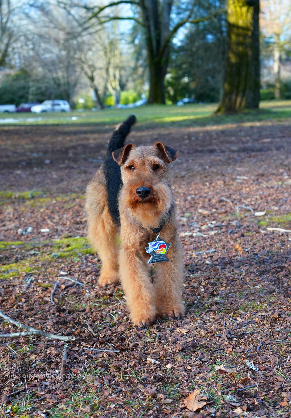The First Welsh Terrier AKC Trick Dog Champion