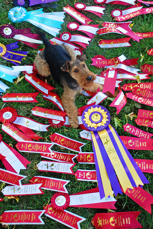 Welsh Terrier Miles achieves ATCHC Agility Champion Title
