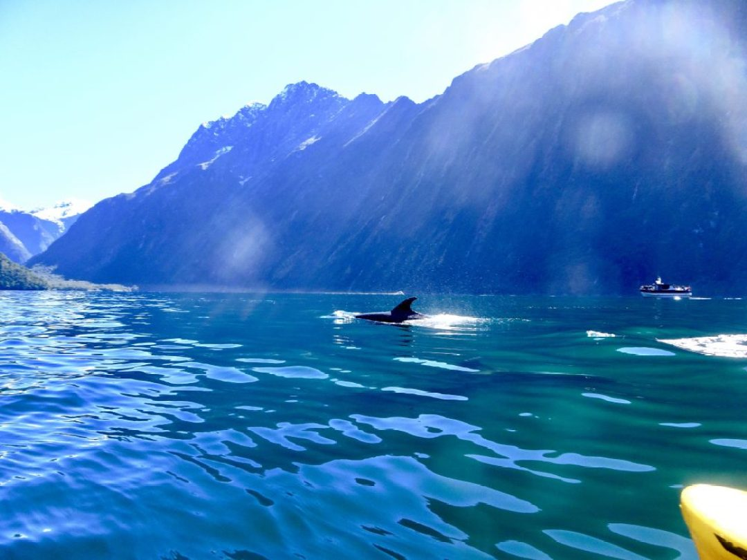 Dolphins in Milford Sound