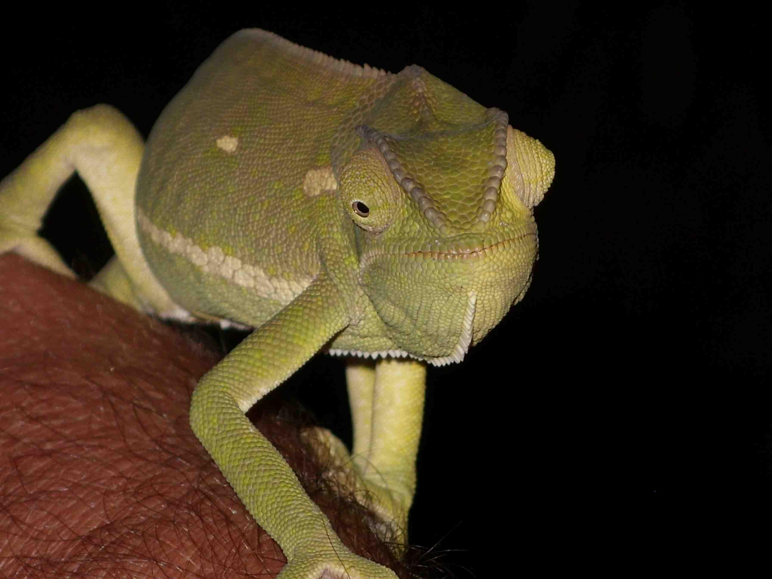african-chameleon