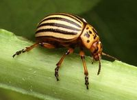 Both the Allies and Axis considered drafting Colorado Potato Beetles into the war effort.
