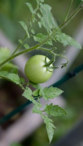 Plant this month to eat tomatoes off the vine this summer.