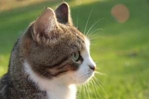 healthycat
