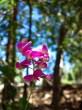 Wordpress weekly photo challenge: Focus - Sweet pea flower in Idyllwild, California