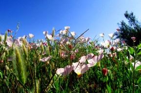 California wildflowers - poppies