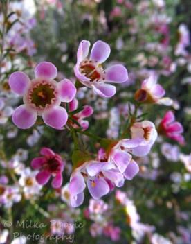 Close-up of pink manuka flowers