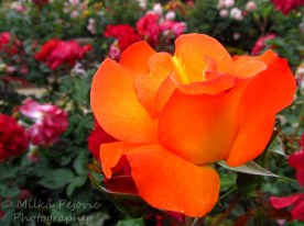 A Word A Week Challenge – Orange rose at Balboa Park