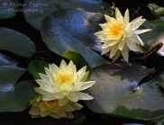 Floral Friday Fotos: yellow water lilies
