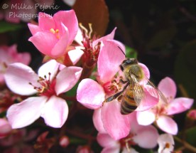 April 2015 - bee on pink flowers