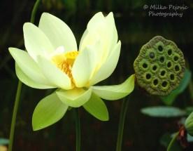 July 2015 - white lotus flower and lotus seed pod