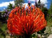 July - orange protea pin cushion close-up