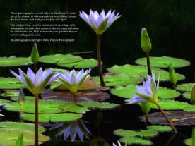 2015 water lily calendar - back cover