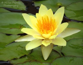 November 2015 - yellow water lily