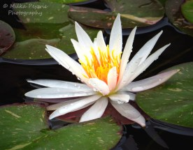 October 2015 - white water lily
