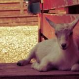 colasantis-kingsville-baby-goat