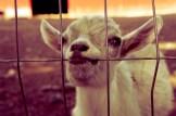 colasantis-kingsville-goat