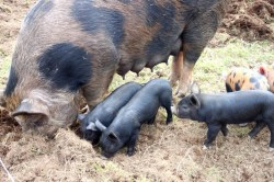 This mama pig doesn't need a broad fork to till the land