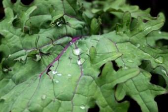 Purple-Veined Kale