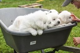 Wheelin' around Puppies