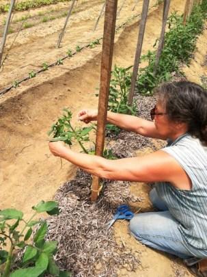 sophia staking tomatoes
