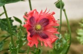 poppy flower and fly
