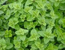 Origanum vulgare (origano)