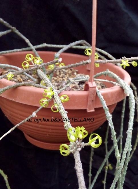 Cynanchum marnierianum