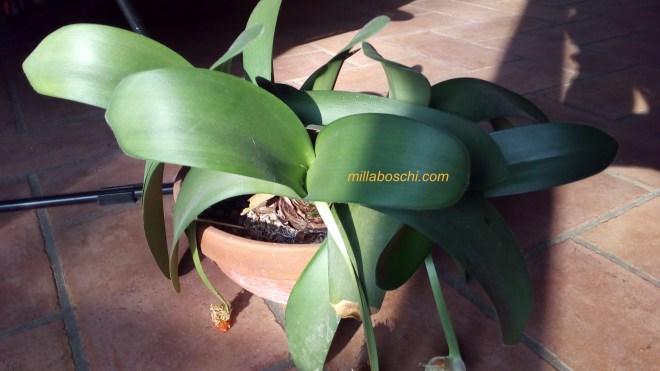 Haemanthus pianta con frutti
