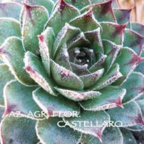 semprevivi sempervivum tectorum
