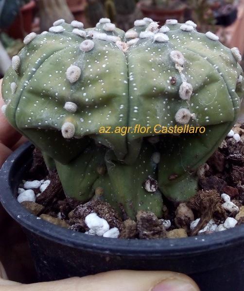 Astrophytum asterias appassita dopo l'affrancatura