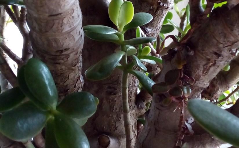 Crassula ovata: pianta dei soldi, dell'amicizia, di giada