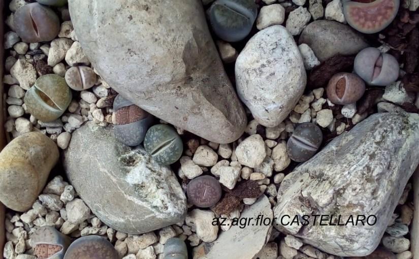 Lithops: sassi viventi, coltivazione e collezionismo