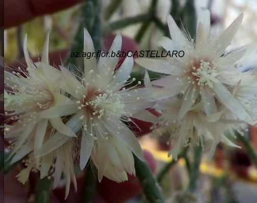 Rhipsalis pilocarpa, cactacea che non sembra una cactacea