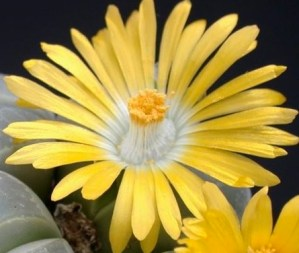 fiore di lithops
