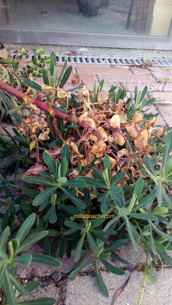 Euphorbia characias infiorescenza con plantule