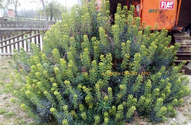 Euphorbia characias ssp wulfenii, splendida fioritura di fine marzo