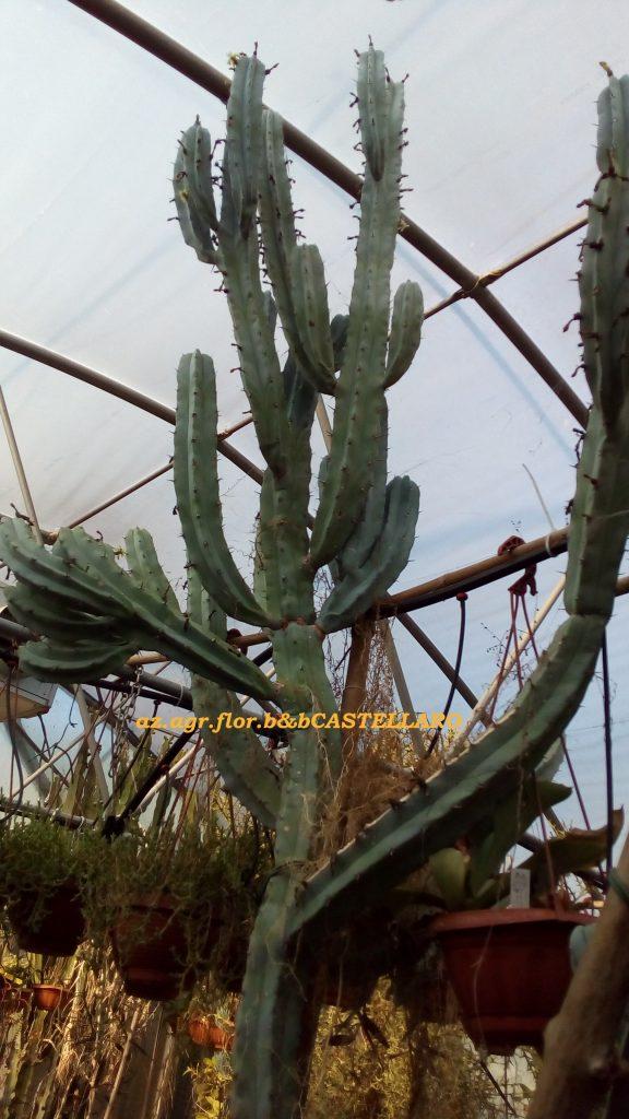Myrtillocactus geometrizans, con me da 35 anni. alto circa 3 metri e mezzo