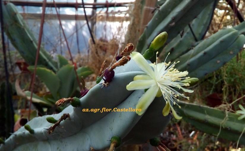 Myrtillocactus geometrizans. Generosa pianta messicana con frutti commestibili