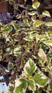 danni del gelo tardivo su Plectranthus colloides