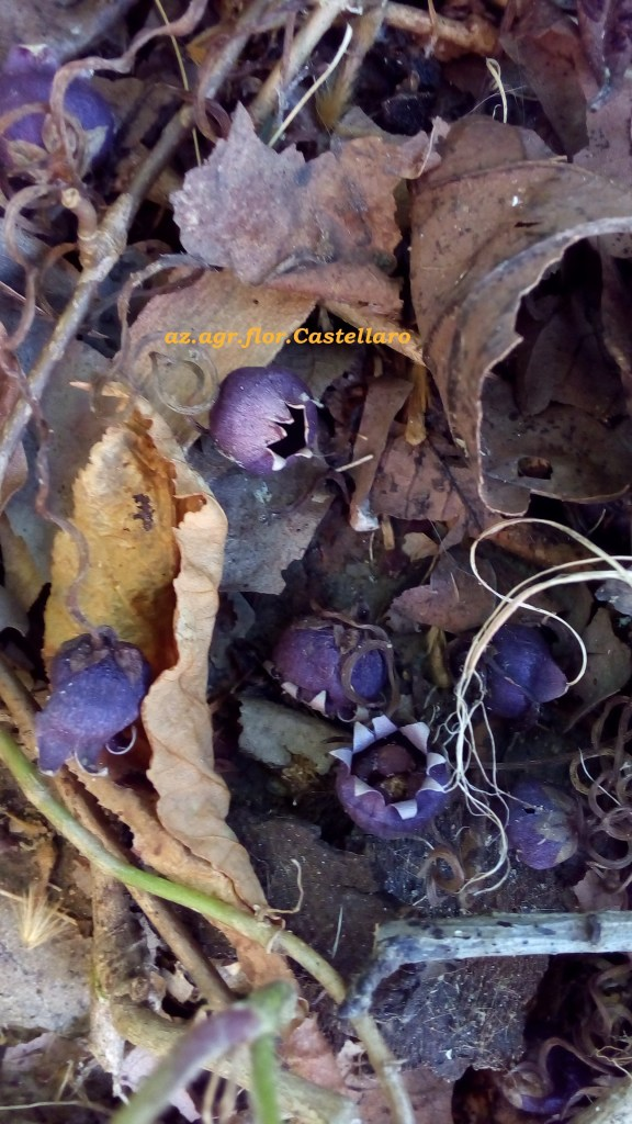 ciclamini selvatici, semi